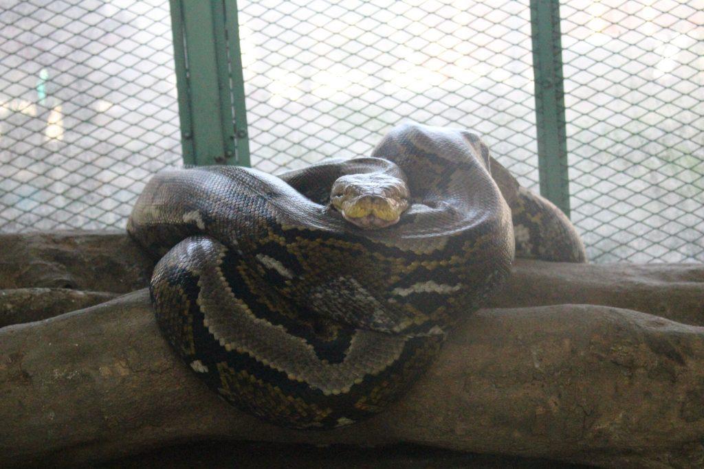 Ular pyton di taman reptil yogyakarta